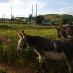 Donkeys that roam the town