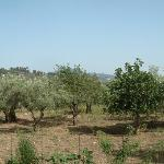 Olive trees on all sides.