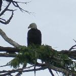 The bald eagle will be watching over you