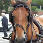 Hershey our carriage horse