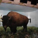 Buffalo Stampede!