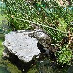 Terrapin family in Courtyard pond