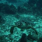 A sea turtle while diving