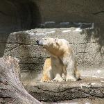 Polar Bears -- where's the snow?