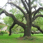 Beautiful old Oak tree