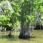 Cypress trees and Spanish moss in the Bayou