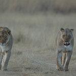 Lionnes à Entabeni