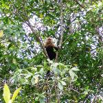 White Faced Monkey visiting us while fishing in the Estuary