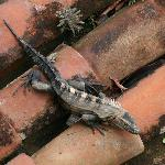 Iguana on a rooftop