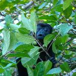 The howler monkeys right next to our cabina