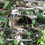 Monkey in Corcovado