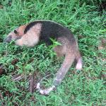 Anteater in Corcovado