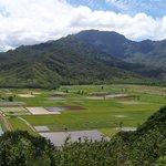 Kauai's taro fields