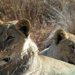 Beautiful lions -  brother & sister