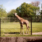 Giraffe at Buffalo Zoo
