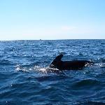 pilot whales  at Pleasant Bay