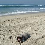 Pekingese dog on beach