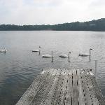 Swans making a visit to the dock