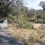 Safari - elephants walking by the Lodge