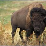 and Bison!