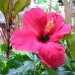 Red hibiscus outside our door