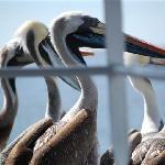 Pelicans sitting outside the balcony - Hotel Cap Ducal