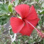 Heilala garden flower