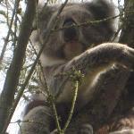 Male Koala 1