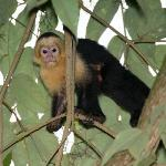 A White-throated Capuchin coming for his breakfast
