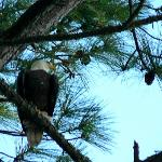 Genuine Bald Eagle above our campsite