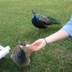 The peacocks crashed our picnic