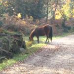 A wild horse in the New Forest