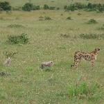 Cheetah & Cubs