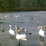 ducks and geese in winter