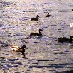 ducks in the cove
