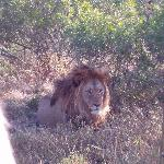 Lion at the Pumba Game Reserve