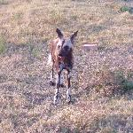 Wild dog at the Pumba Game Reserve