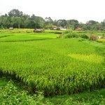 Chiang Mai paddy fields