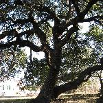 Beautiful old oak in the large back yard