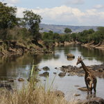 Giraffe on Mara river