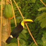Mr Toucan eating his papaya