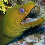 Hungry Green Moray