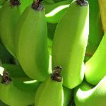 Bananas growing in the garden