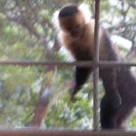 White Capuchin Monkeys right in our window!