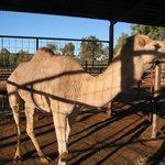 Stuart's Well - Camel
