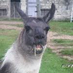 Llama Breakfast