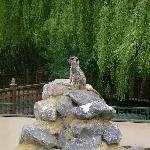 Beale Park - meerkat