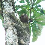resident 3-toed sloth