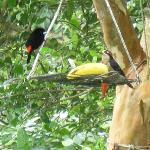 Passerini's Tanager & Black-cheeked Woodpecker