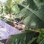 Bananas-Tropical Paradise